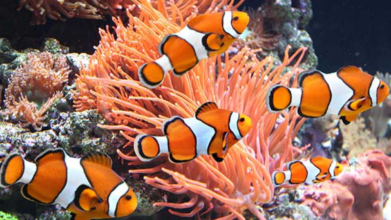 Average Lifespan Of A Clownfish - How To Increase It