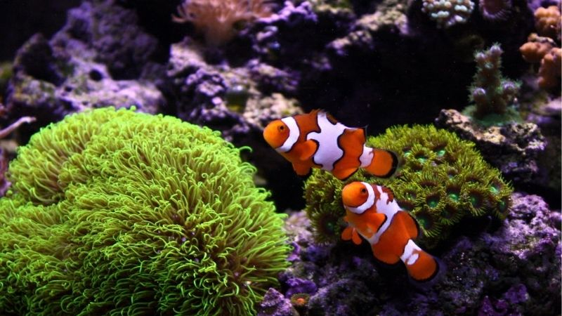 Breeding Picasso Clownfish: Useful Tips, Tricks, and Methods