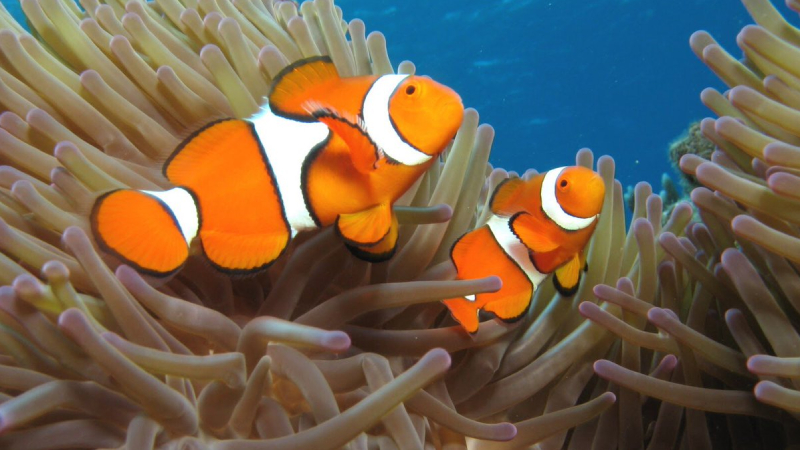Can A Female Clownfish Turn Into A Male? Amazing Truth
