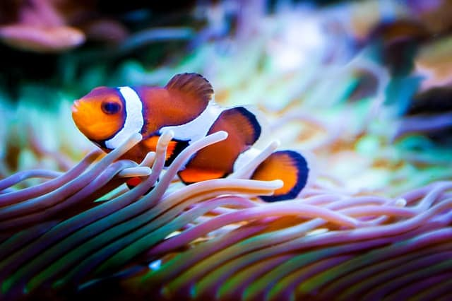 Clownfish can not close their eyes when sleeping