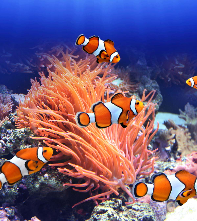 Clownfish in the wild have to face predators and a lack of food