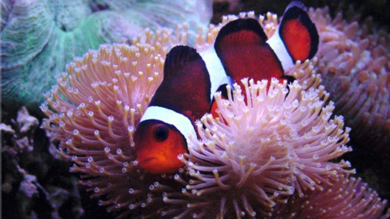 Clownfish is lying inside anemone