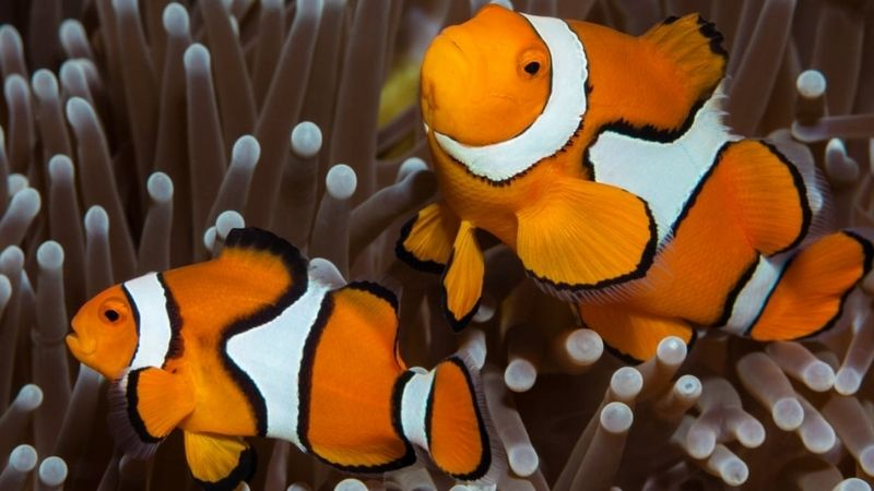 Clownfish Not Eating: 4 Ways That Might Be Occurring