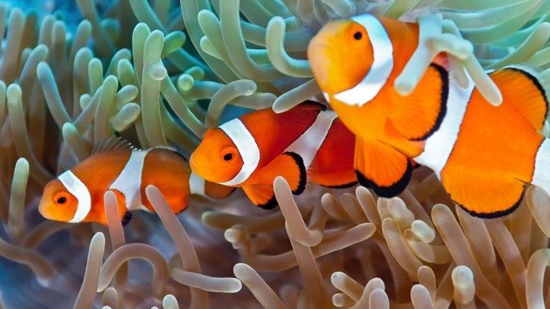 do clownfish need anemones