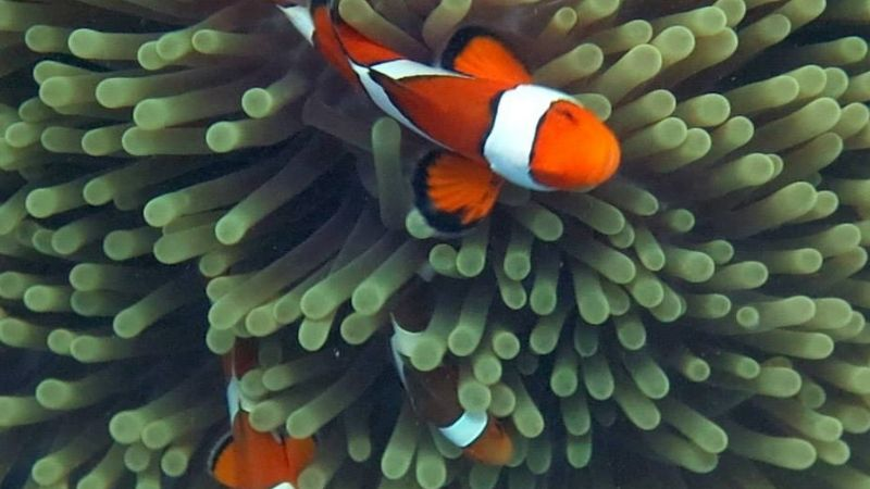 How Long Do Clownfish Live ? - 4 Common Diseases Of Them