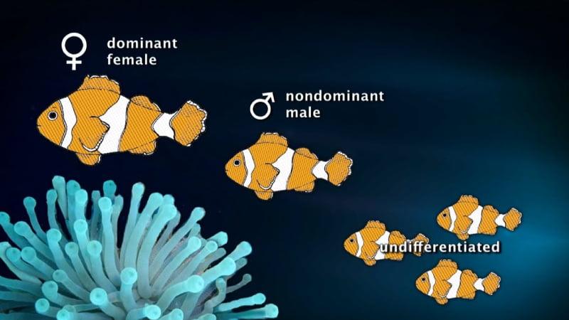 When the female dies, the breeding male turn into a female