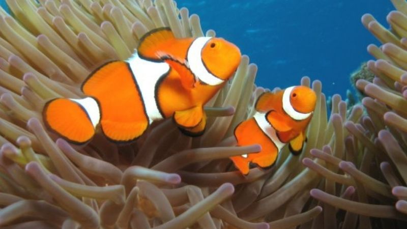 Clownfish Fighting