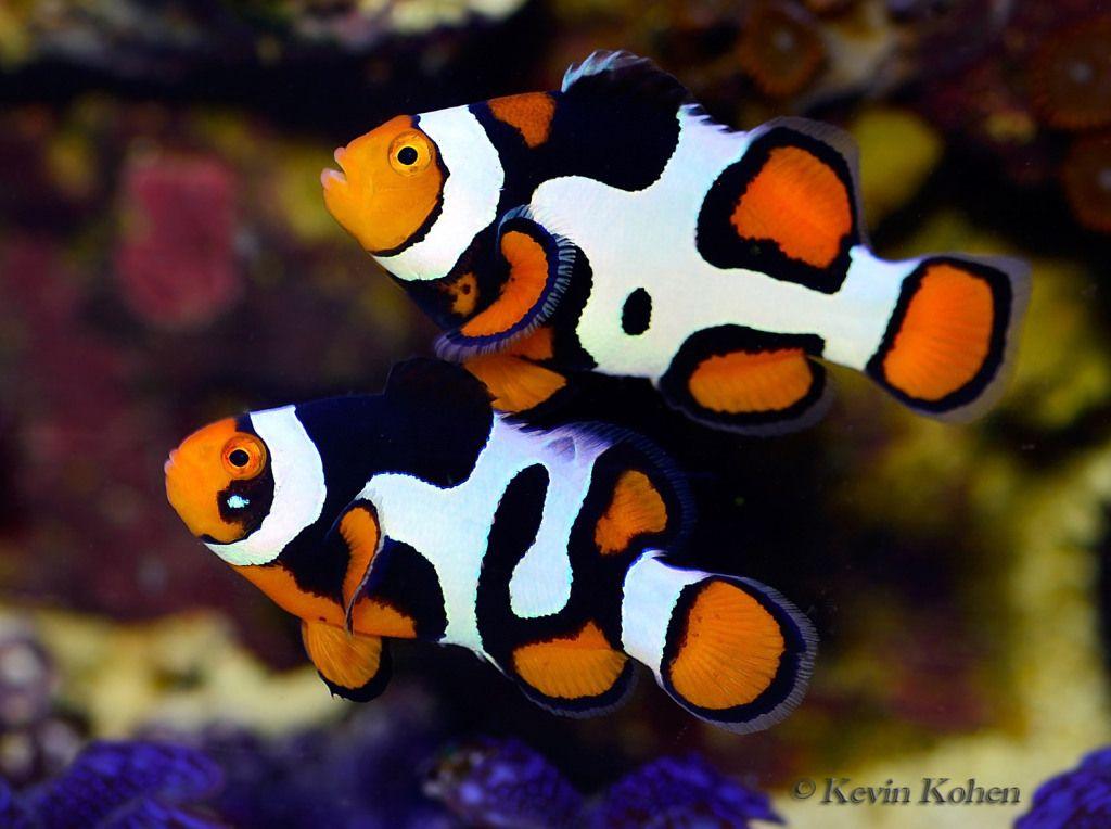 A pair of clownfish in the aquarium