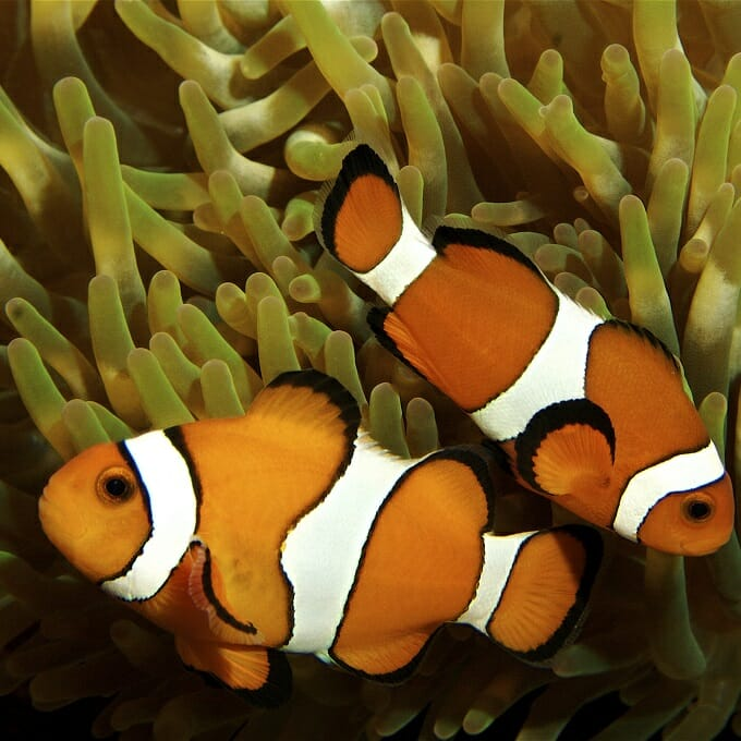 You will need a pair of clownfish that are already mated