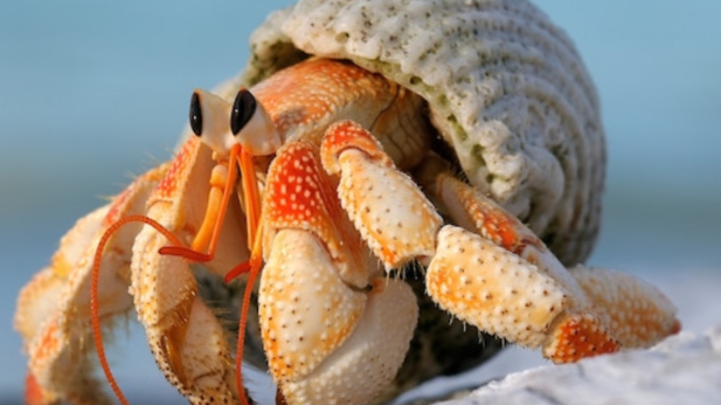 Acclimating Hermit Crabs Safely (Easy Steps To House Them)