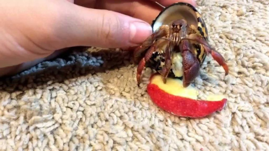Adorable Hermit Crabs Eating Apple