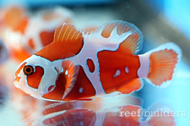 Appearance Of The Peacekeeper Maroon Clownfish