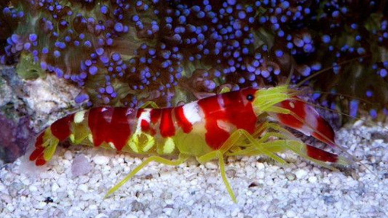 Are Pistol Shrimp Reef Safe? Top 3 Exciting Truths About Pistol Shrimp