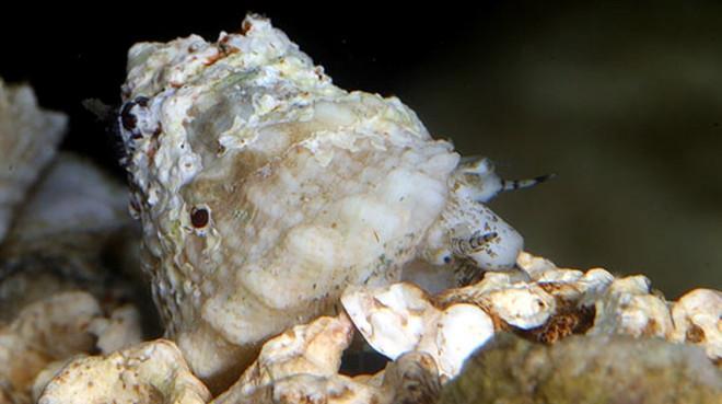 Astrea Snail