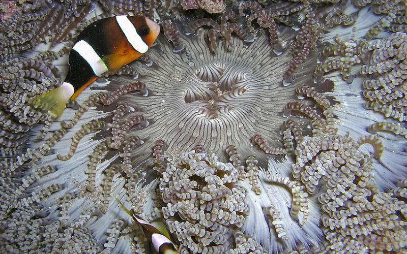 Beaded Sea Anemones