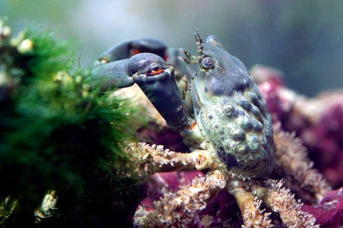 Behavior of Emerald crab