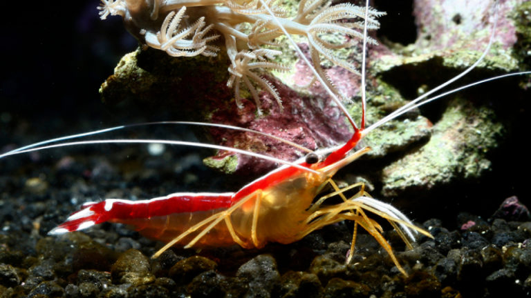 Top 10 The Best Cleaner Shrimp - Do You Know?