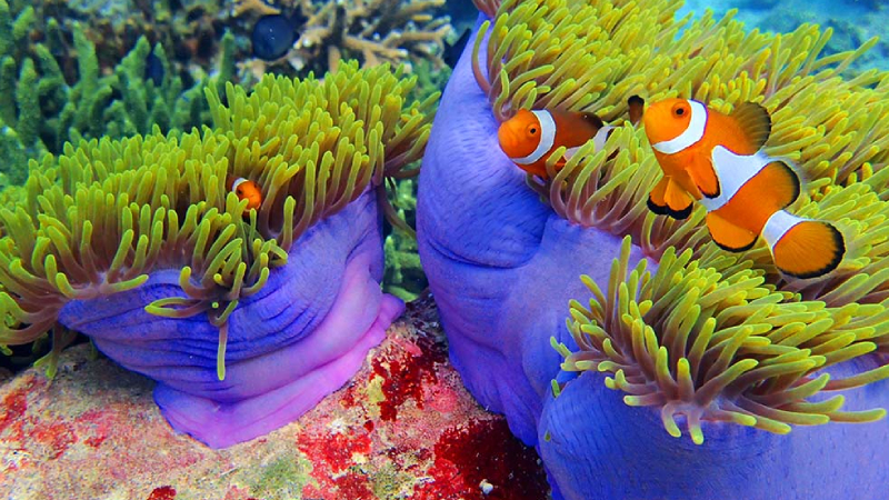 What Is The Best Coral For Clownfish To Host?