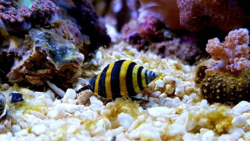 Top 4 Best Snails For Reef Tank