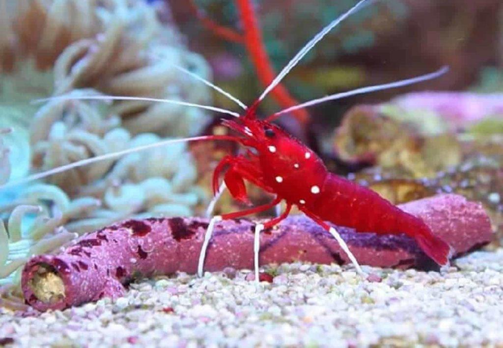Blood shrimp appearance