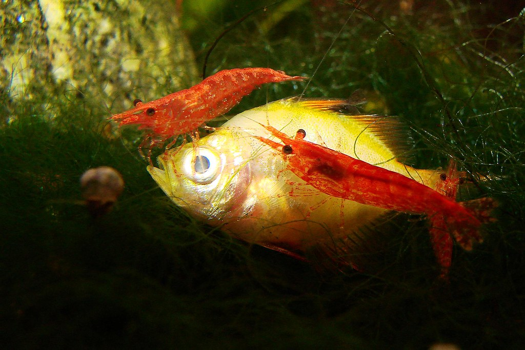 Blood shrimp eat dead skin from your fish