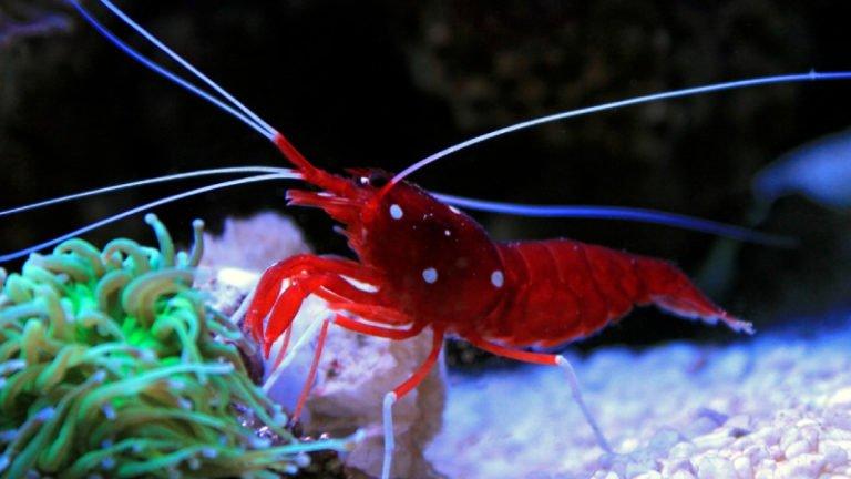 Is Blood Shrimp Reef Safe? Suprised Facts about Blood Shrimp