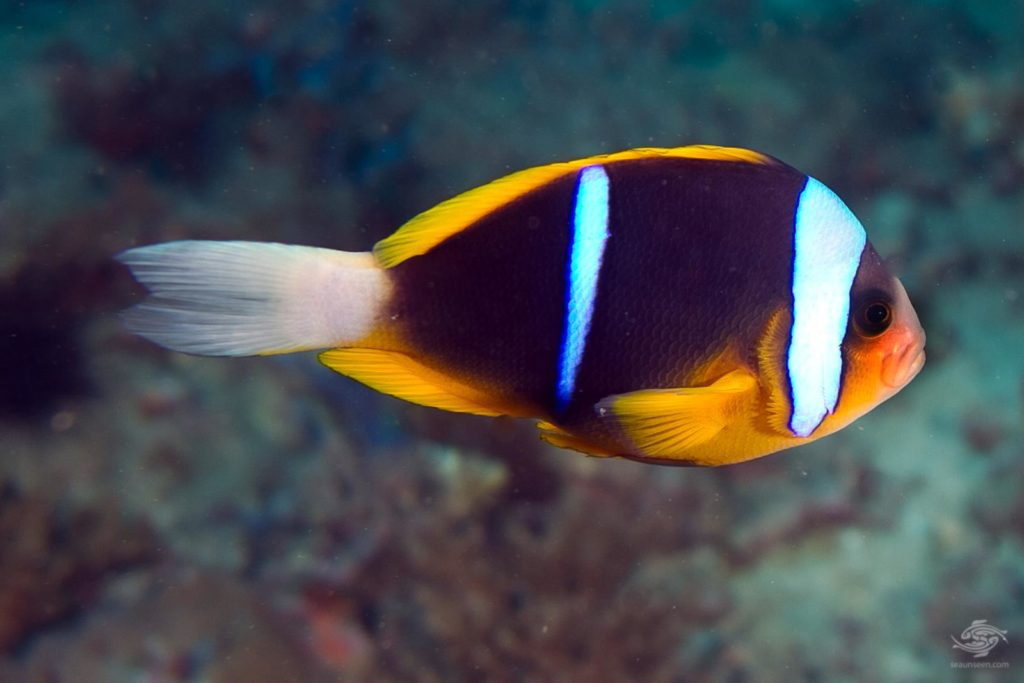 blue line clownfish description