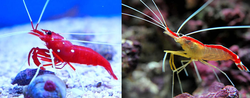 You Can Breed Cleaner Shrimp And Fire Shrimp Together