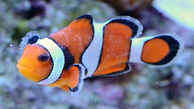 Brooklynella Clownfish Disease: Symptoms And Best Treatment