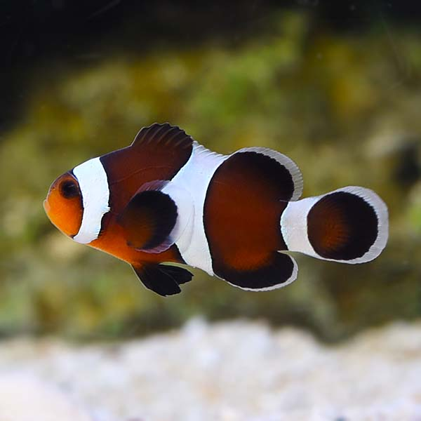 Brown clownfish appearance