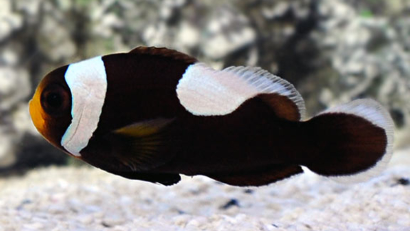 6 Important Facts About Brown Clownfish You Should Know