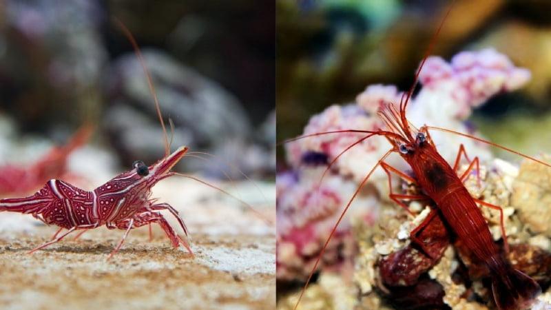 Camel Shrimp Vs Peppermint Shrimp: 7 Amazing Differences
