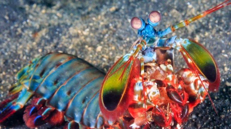 can a mantis shrimp hurt a human