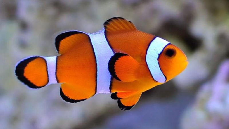 Can Clownfish Live In Cold Water? ( 3 Wonderful Facts)