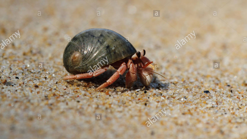Can Hermit Crabs Live Out of Water?