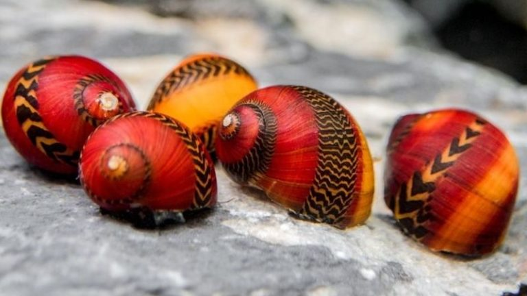 can nerite snails live out of water
