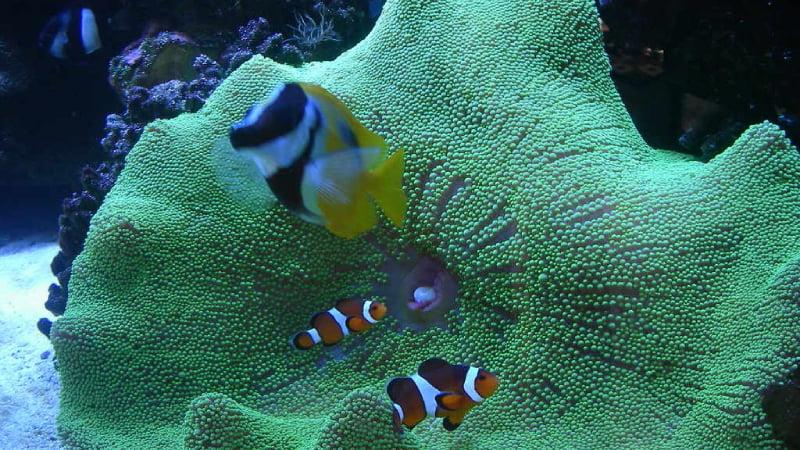 Carpet Sea Anemones