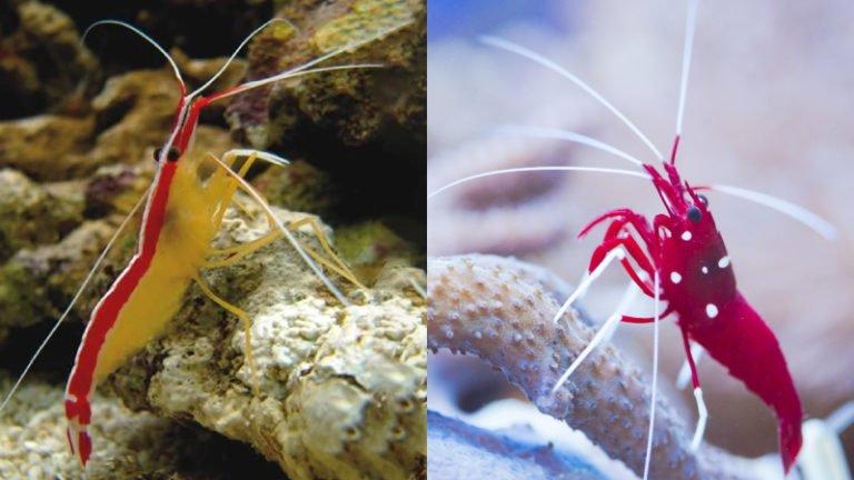 Is Keeping Cleaner Shrimp And Fire Shrimp Together Good?