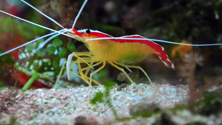 Top 3 Excited Facts Abou Cleaner Shrimp Eggs - Do You Known?