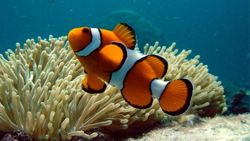 Common Clownfish Behavior You Need To Know - Do We Fight?