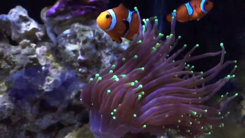 Clownfish can host Torch Coral