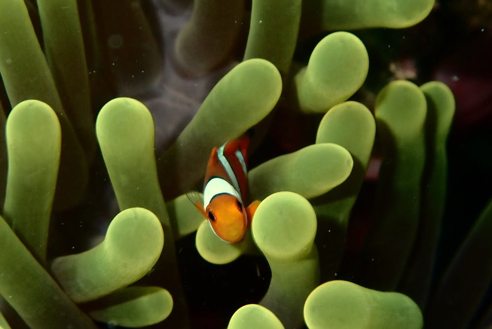 Clownfish Can Only Hatch In The Dark.
