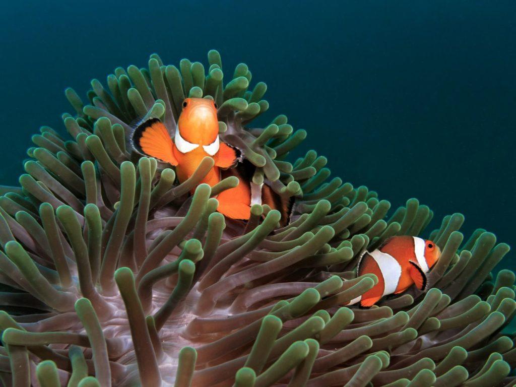 Clownfish compatibility