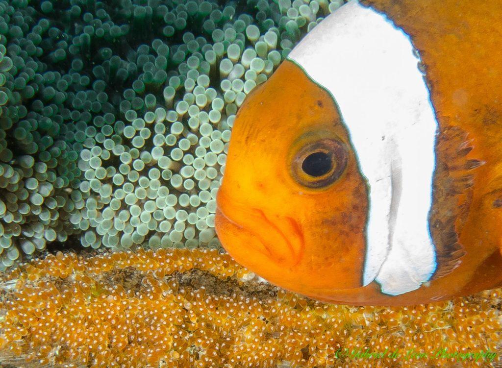 Clownfish eat their own eggs