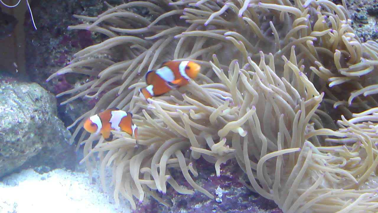 What Causes Are Clownfish Fighting? Don't Worry Too Much