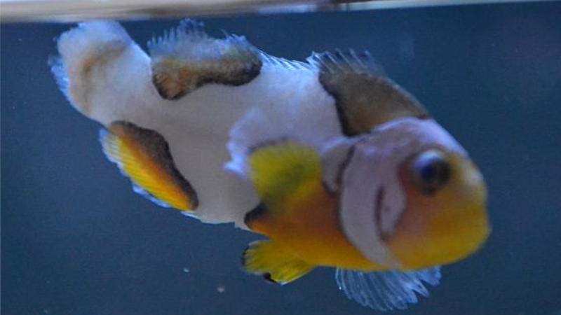 Clownfish Fin Rot: Top 6 Important Things You Need To Know