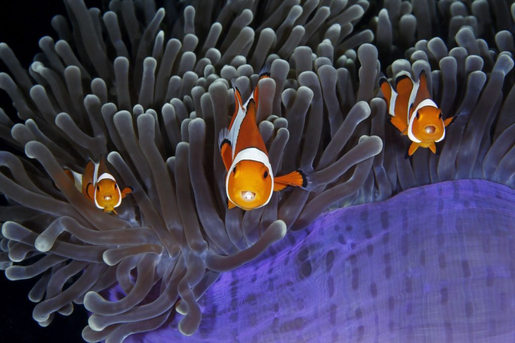 Clownfish Get Along With Other Clownfish