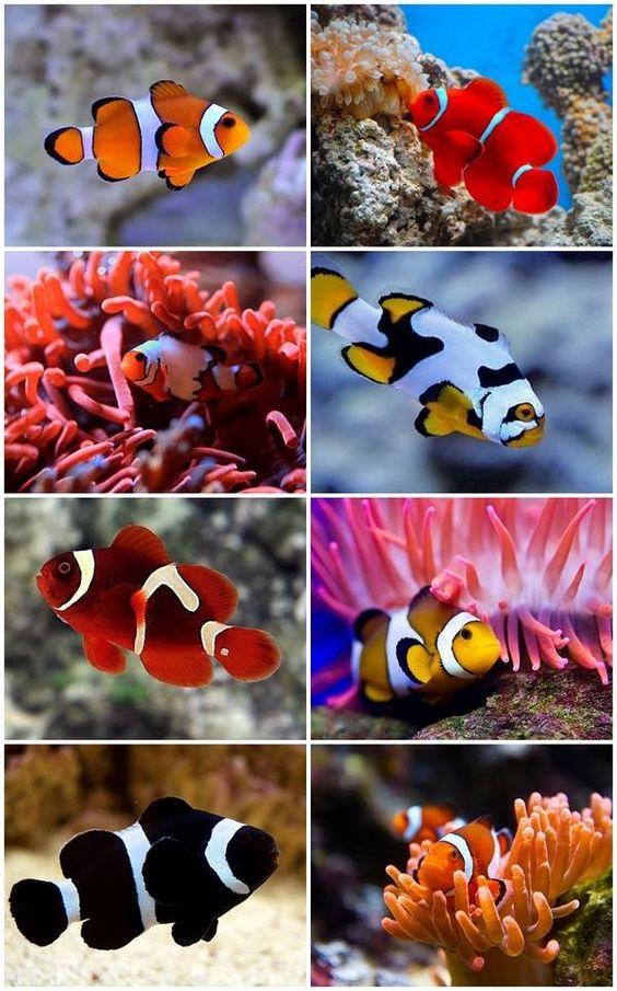 Clownfish has many species