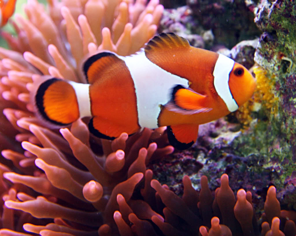 Clownfish Have To Be To Breed And Lay Eggs