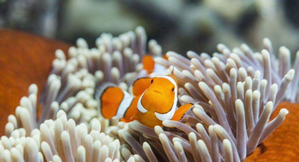 Clownfish Help Their Anemones To Breathe At Night